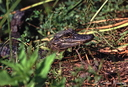 Alligator, Everglades-2