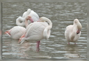 Flamants roses, Pont de Gau, Camargue, 18 avril 2012
